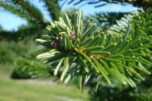 nordmann-fir-foliage