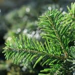 norway_spruce_needles