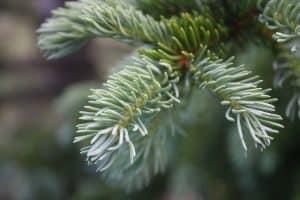 blue-spruce-foliage