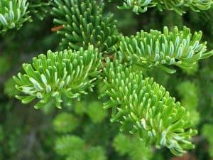 fraser-fir-foliage